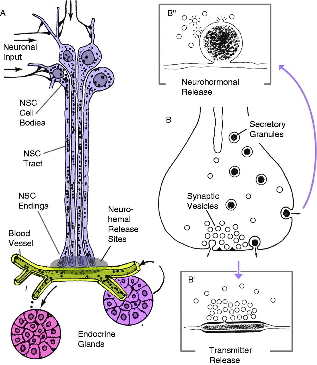 The Neuroendocrine System Of Invertebrates A Developmental And