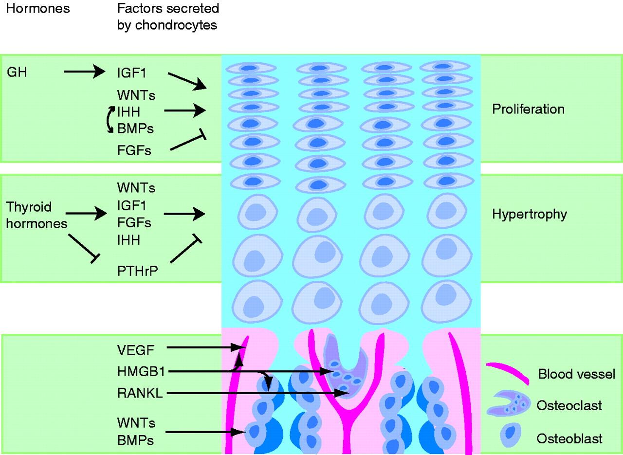 Epiphyseal Plate Diagram Slide - Circuit Connection Diagram •
