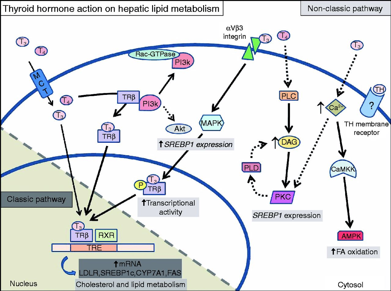 Non Classic Thyroid Hormone Signalling Involved In Hepatic Lipid
