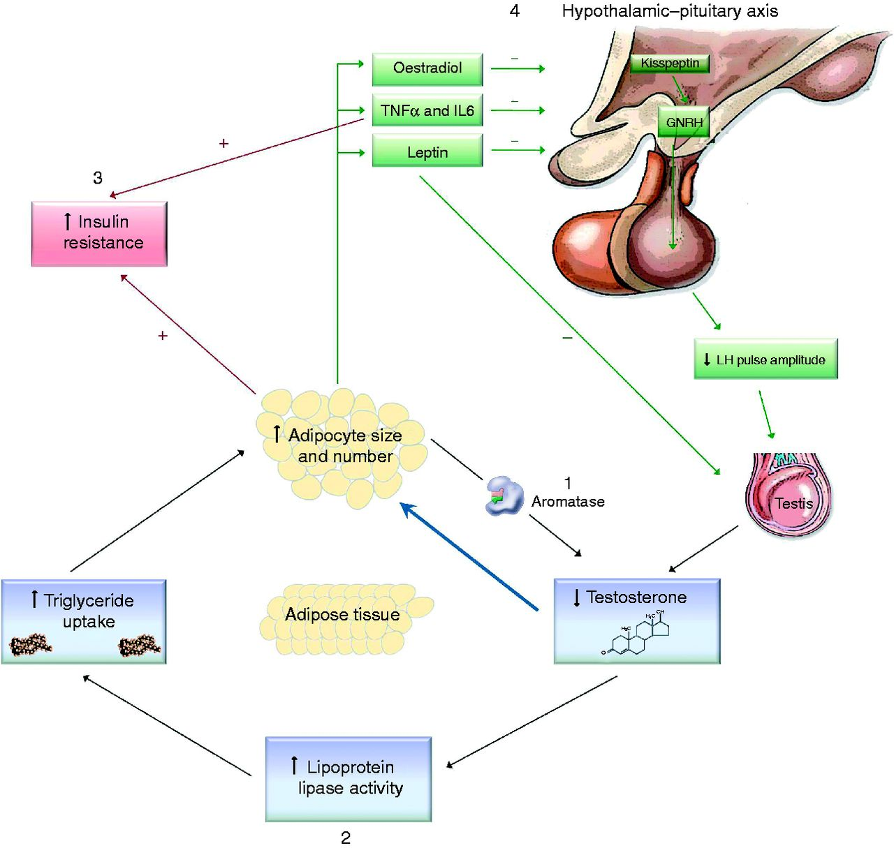 Testosterone: a metabolic hormone in health and disease in: Journal