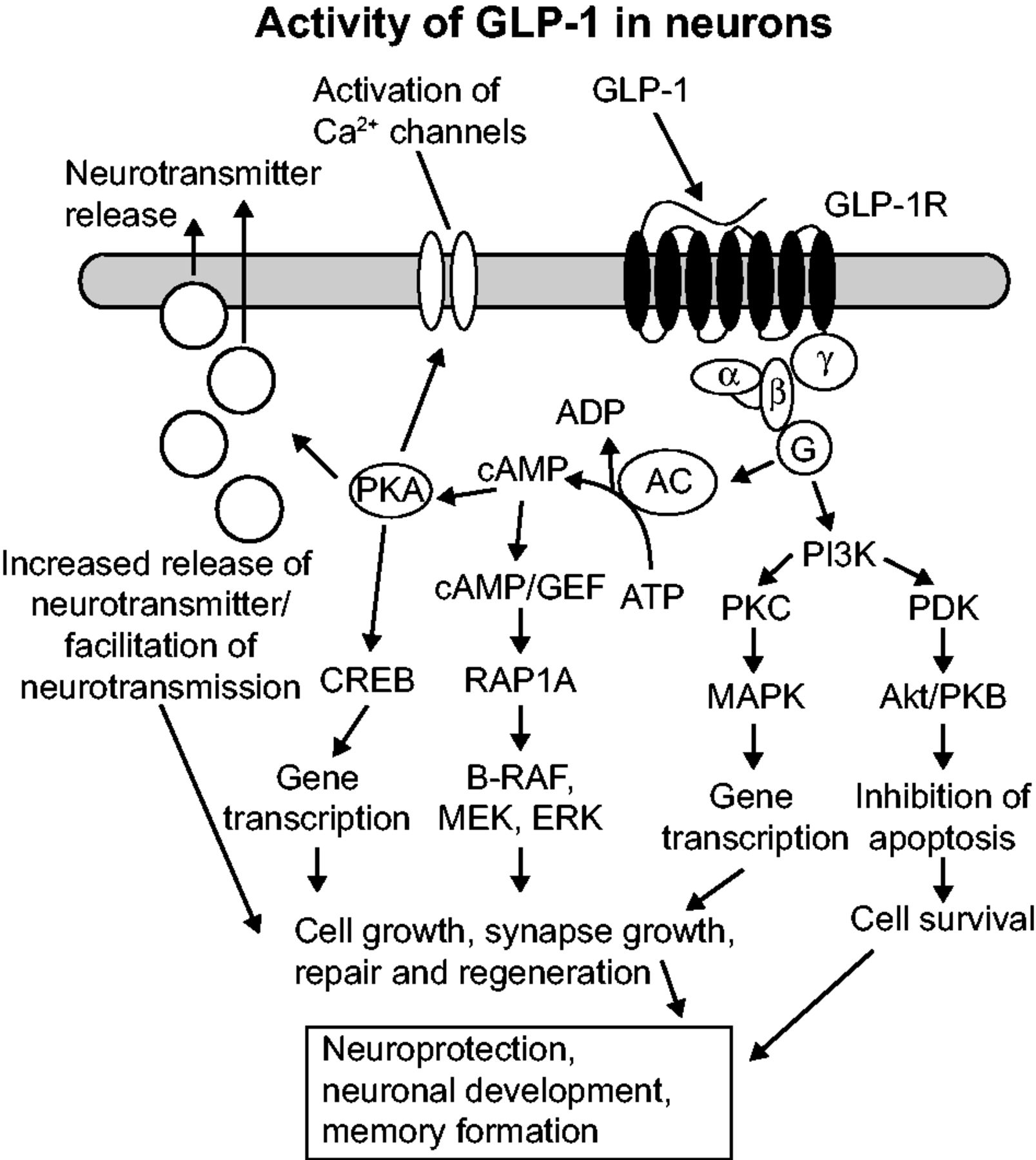 Central effects of GLP-1: new opportunities for treatments of
