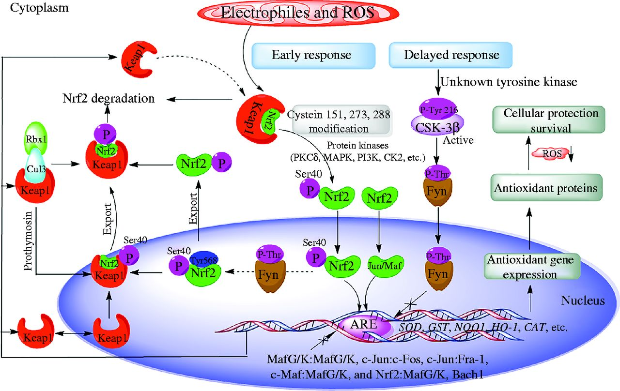 The role of Nrf2 in oxidative stress-induced endothelial
