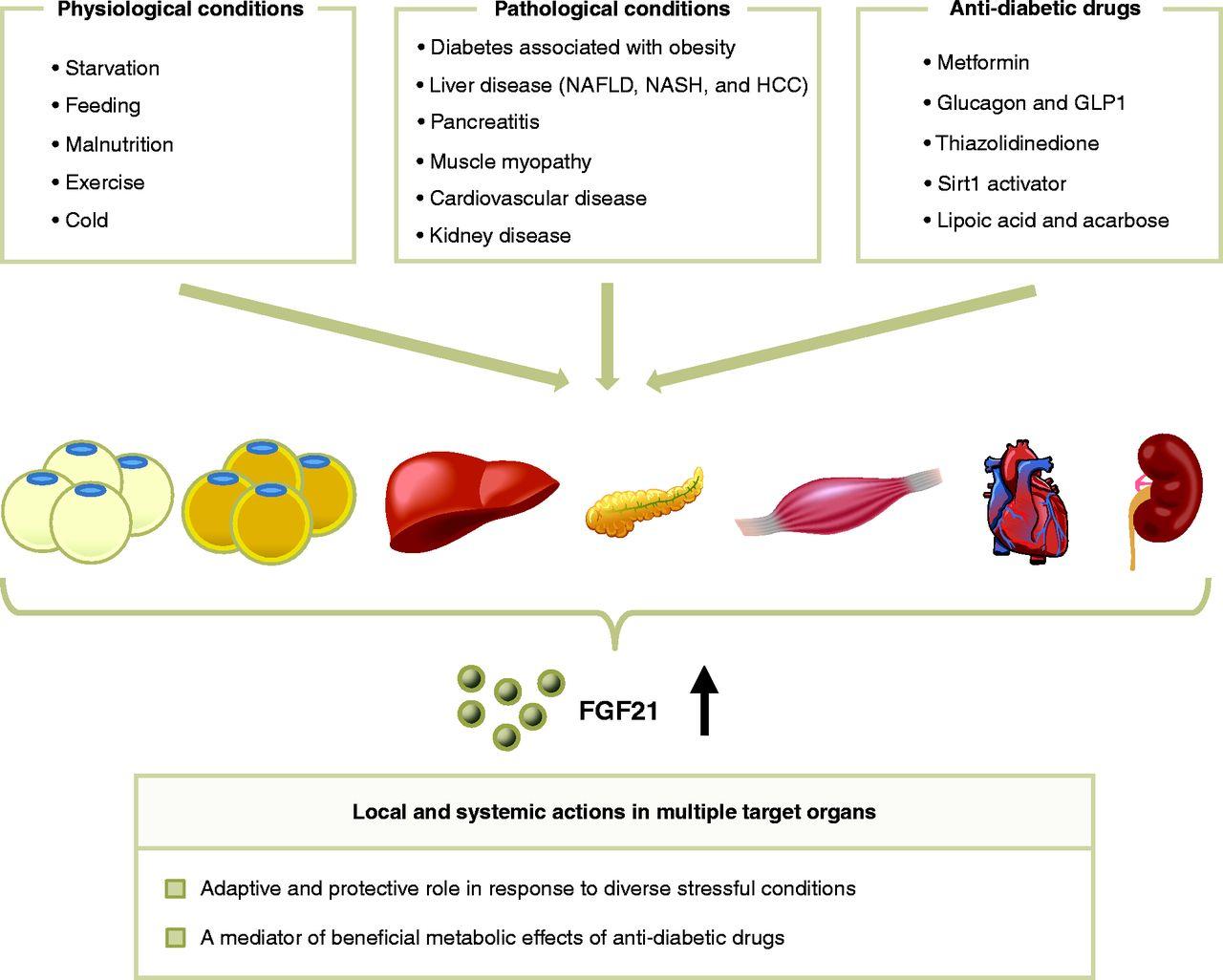 fgf21 esteatosis hepática y diabetes