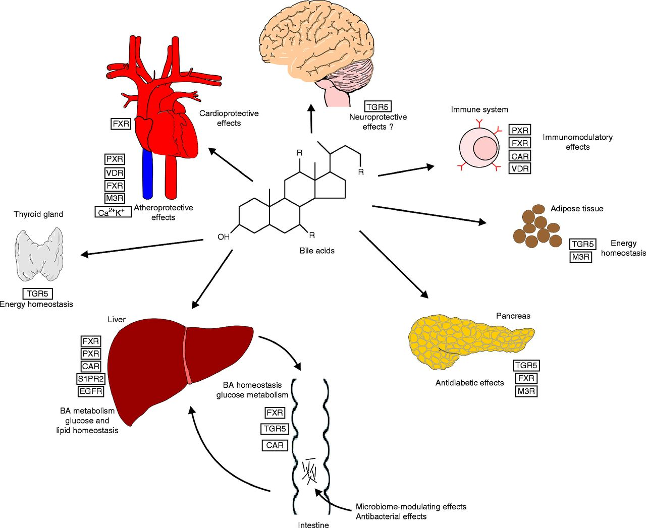 The Role Of Bile Acids In Metabolic Regulation Journal Of