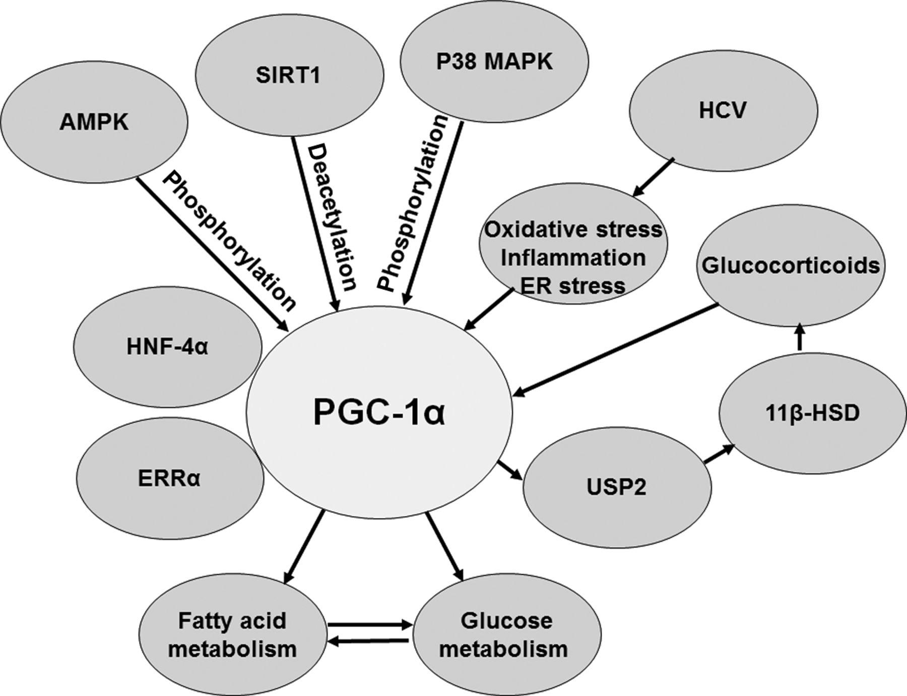 pgc-1 alfa y diabetes