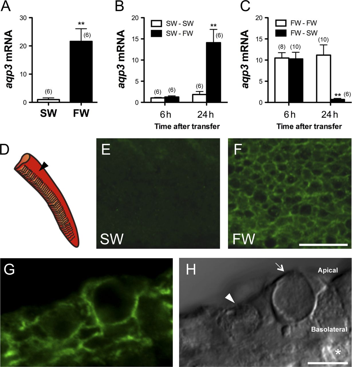 Hormonal regulation of aquaporin 3: opposing actions of