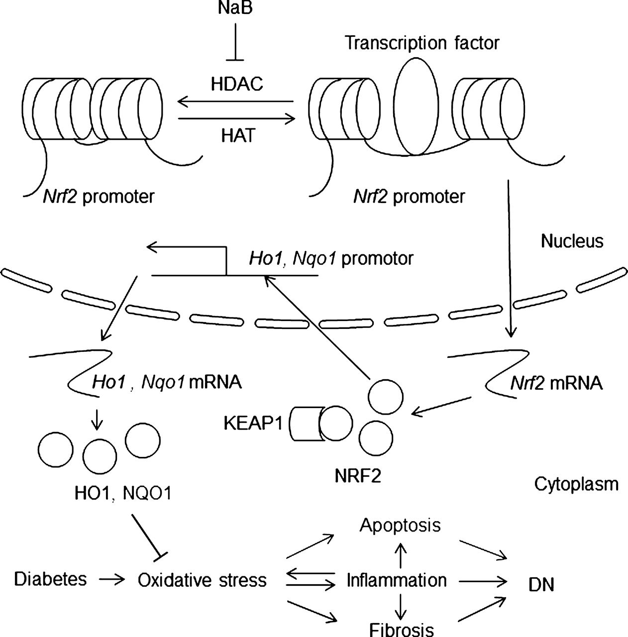 Sodium Butyrate Activates NRF2 To Ameliorate Diabetic