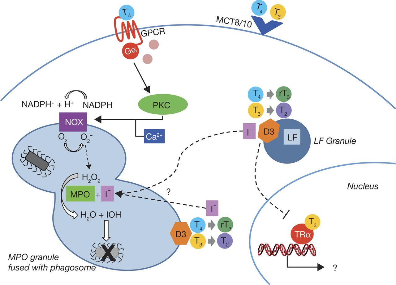 Thyroid Hormone Metabolism In Innate Immune Cells In Journal Of