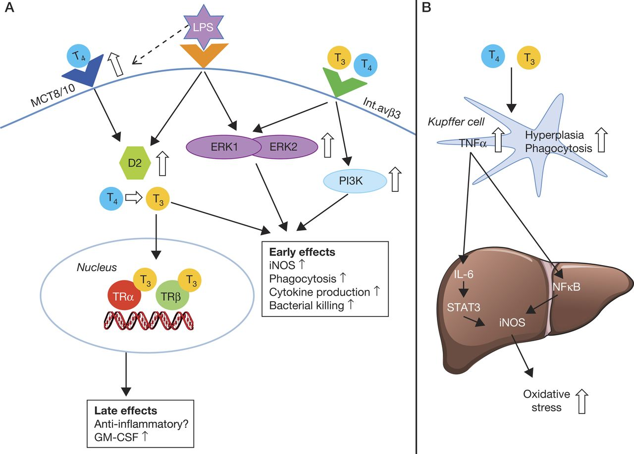 Thyroid Hormone Metabolism In Innate Immune Cells In Journal Of