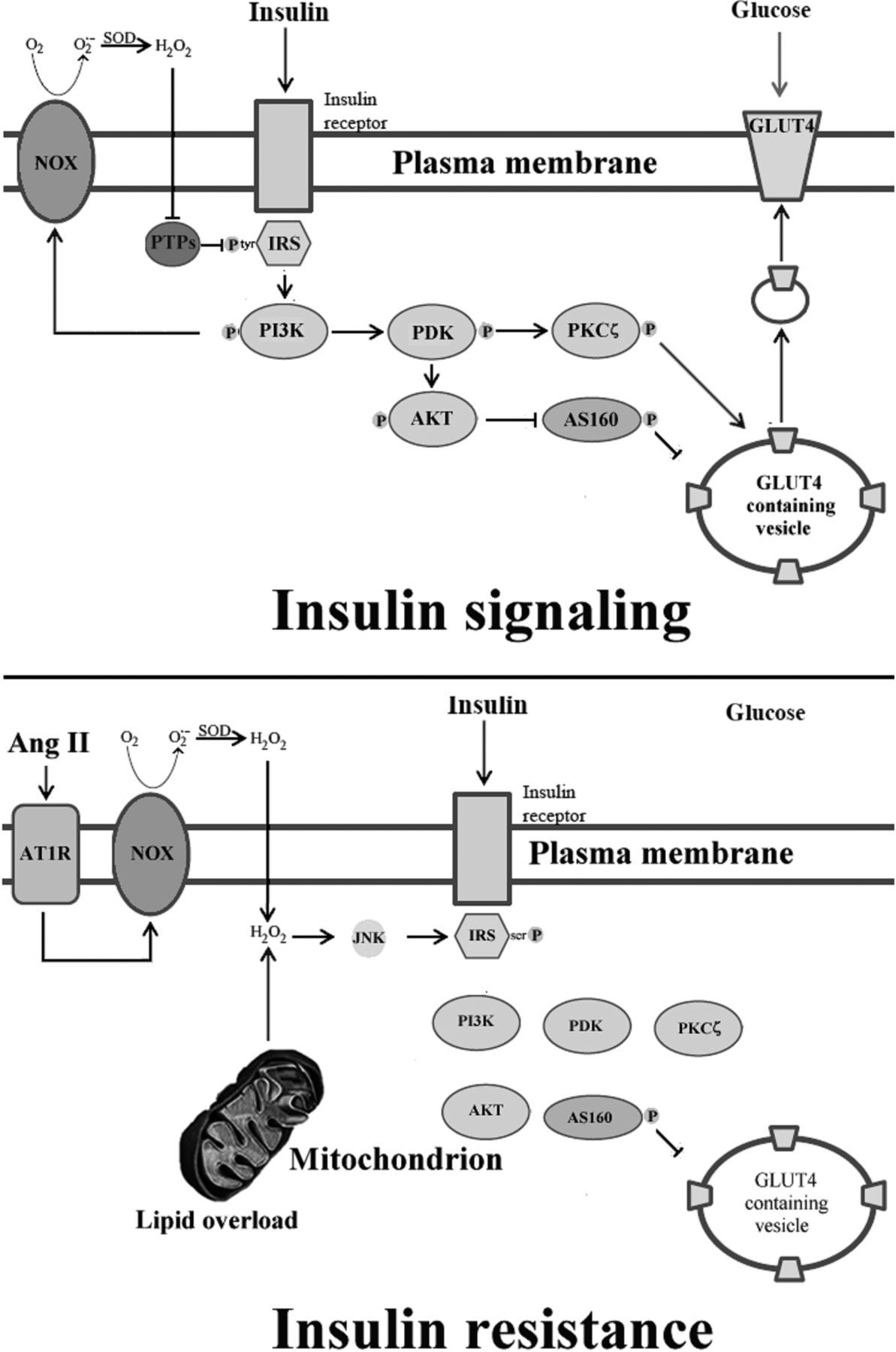 Skeletal muscle insulin resistance: role of mitochondria and