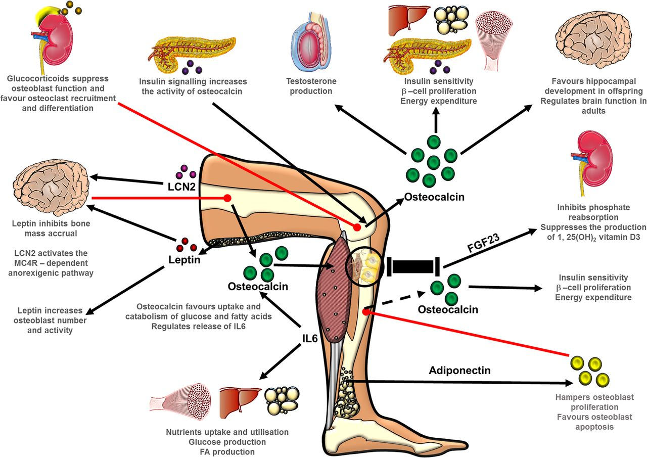 Skeletal energy homeostasis: a paradigm of endocrine