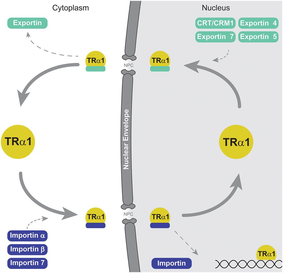 Thyroid Hormone Receptor Localization In Target Tissues In