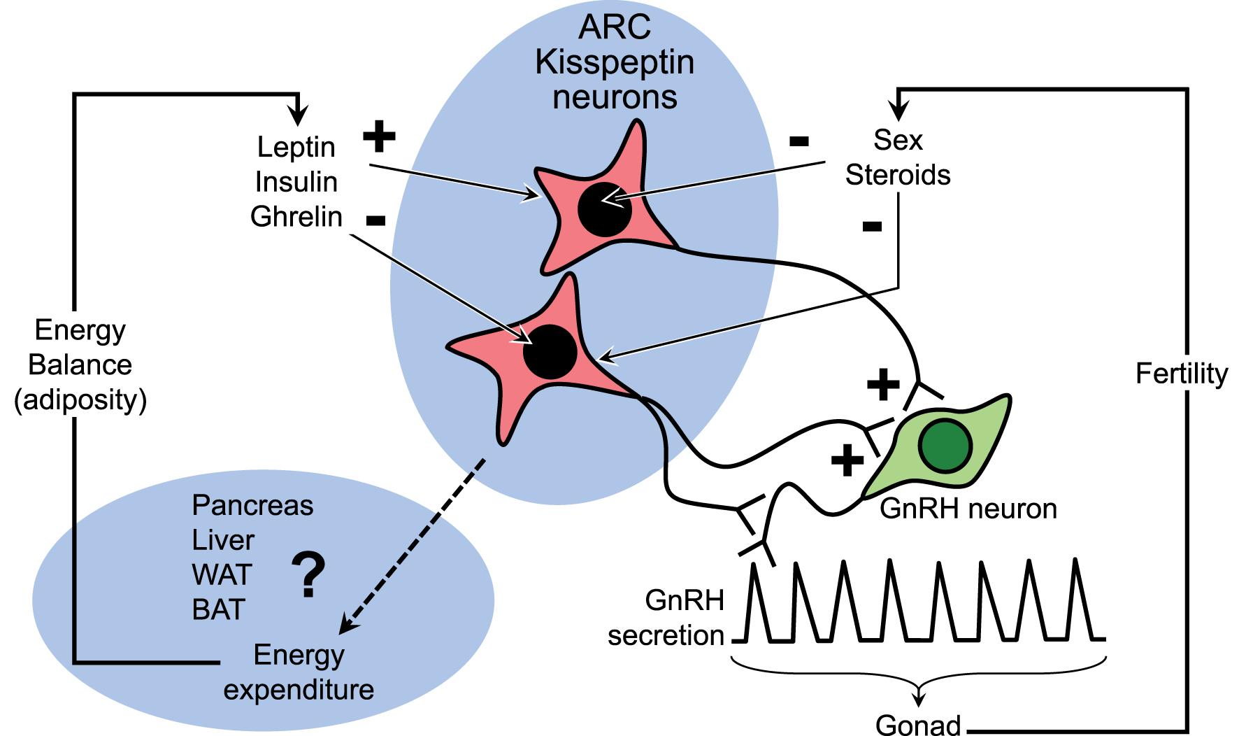 Kisspeptin Gnrh Neurons