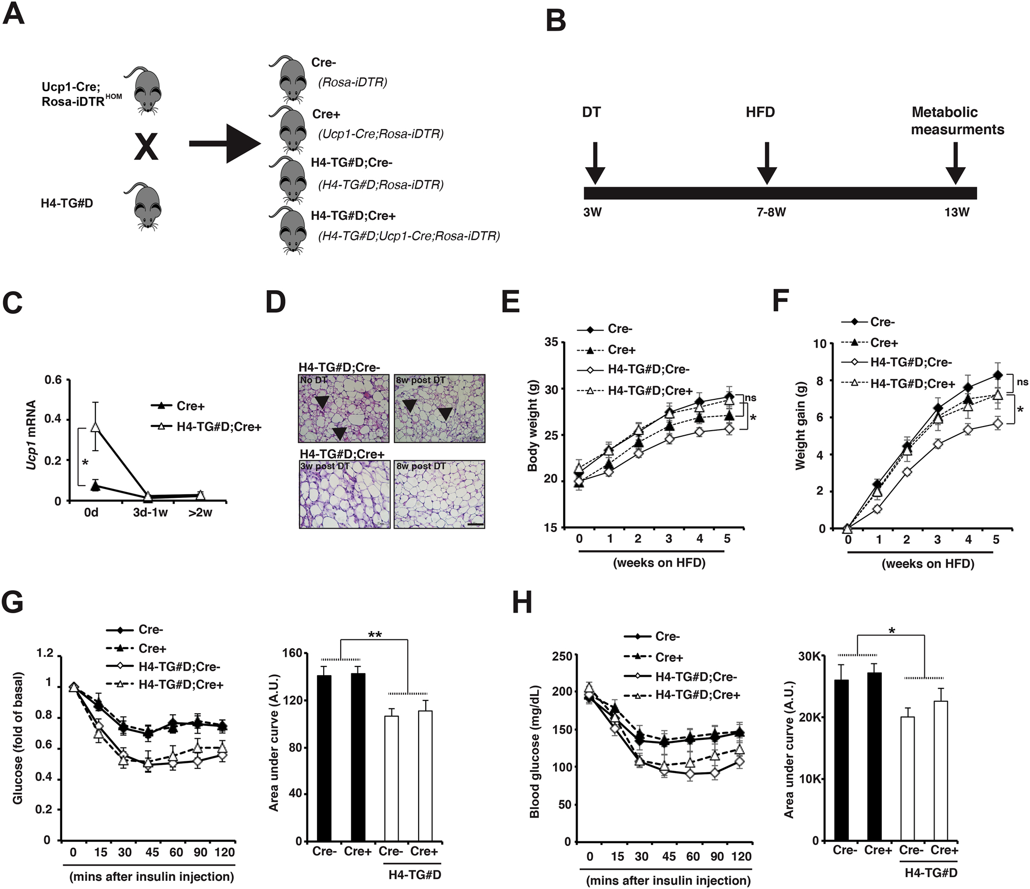Adipocyte HDAC4 activation leads to beige adipocyte expansion and