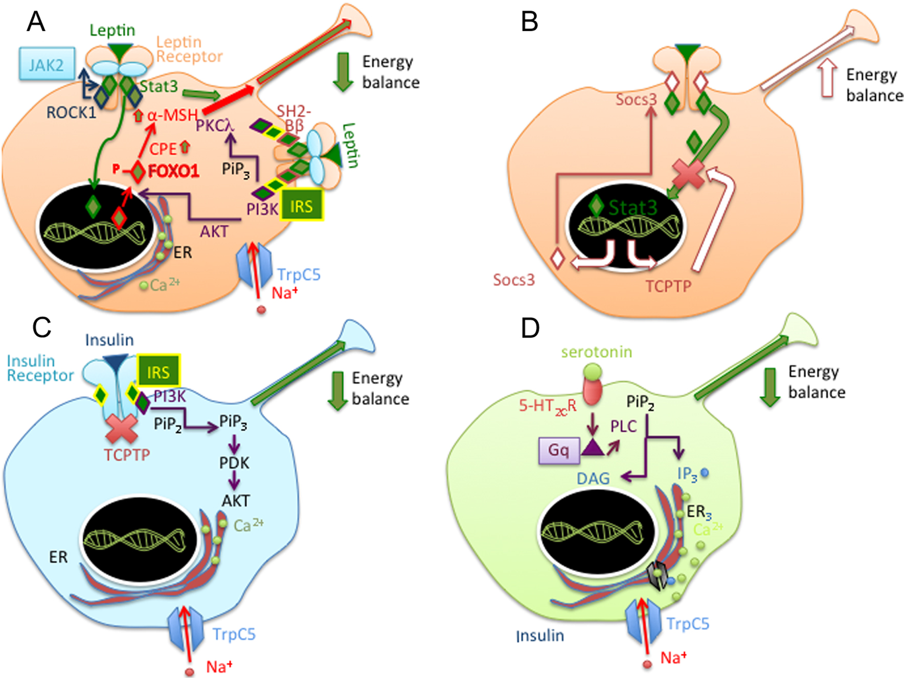 The melanocortin pathway and control of appetite-progress