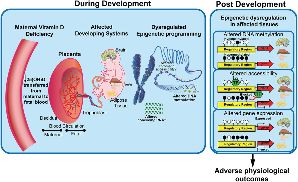 Maternal Vitamin D Deficiency And Developmental Origins Of Health And Disease Dohad In Journal Of Endocrinology Volume 241 Issue 2 2019
