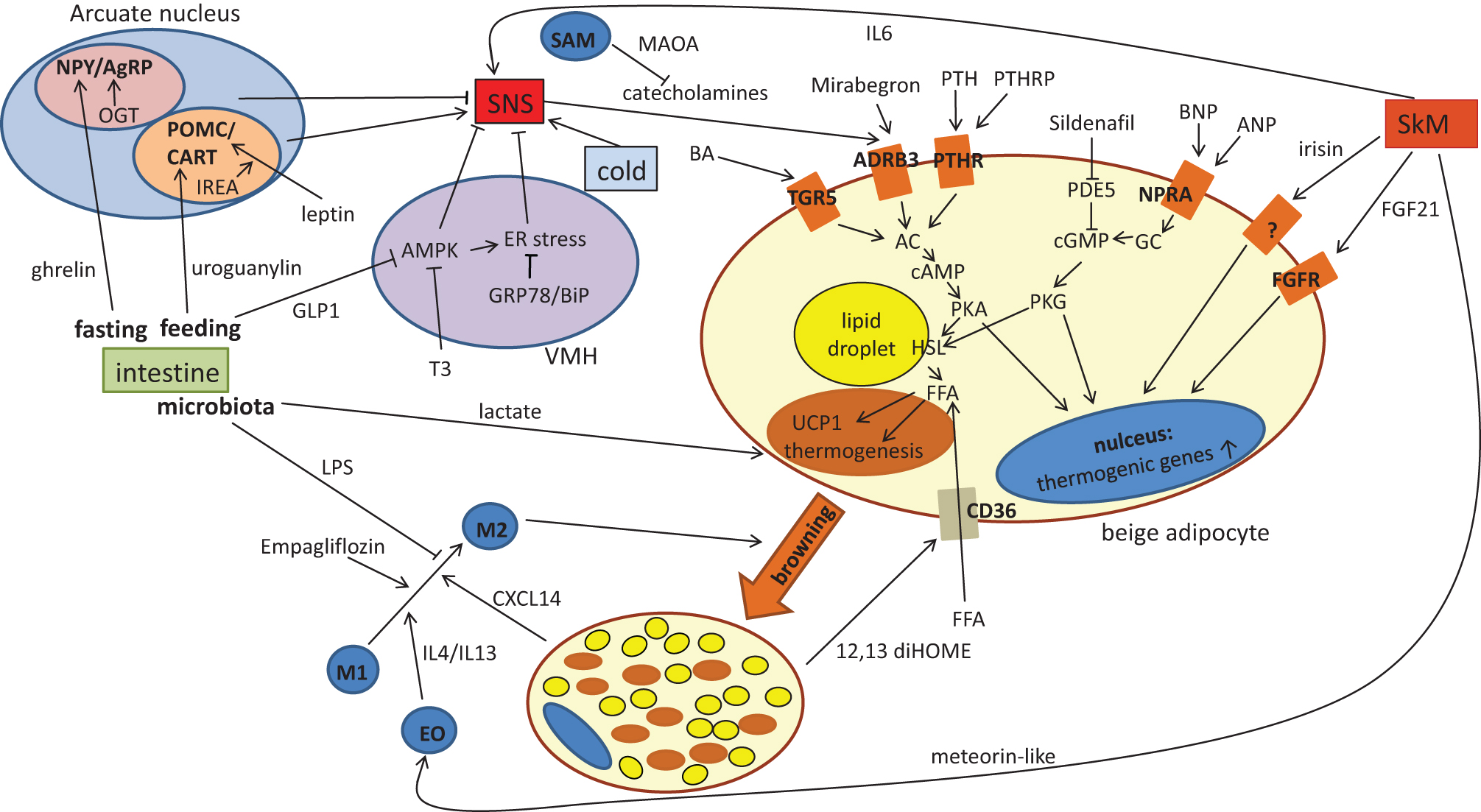 Adipose tissue browning in mice and humans in: Journal of