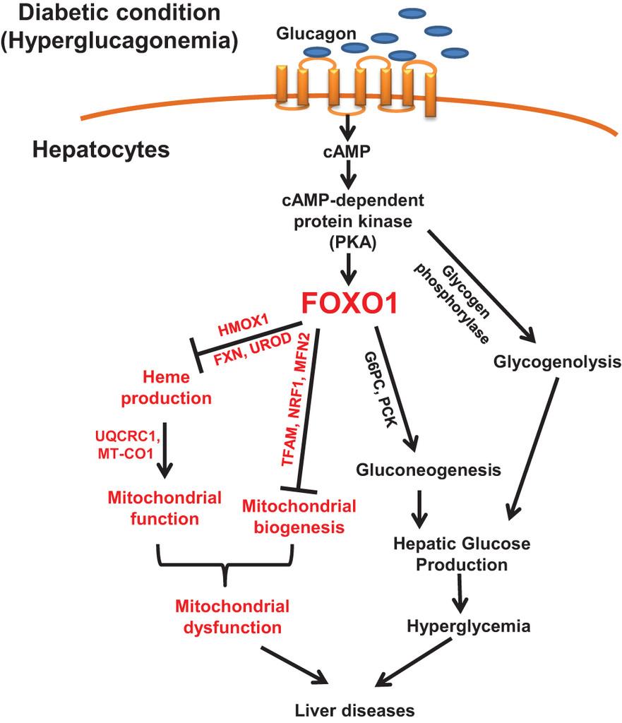 diabetes hiperglucagonemia