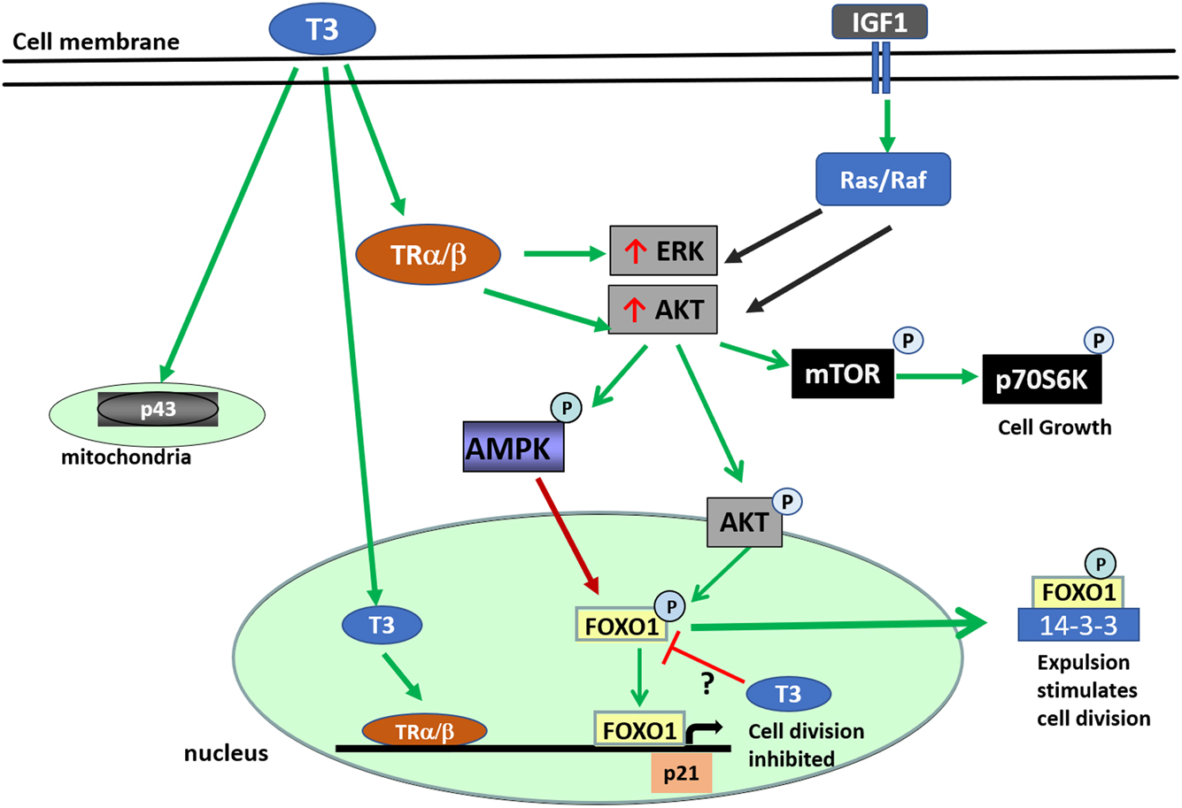 Thyroid Hormone Signaling And Consequences For Cardiac Development