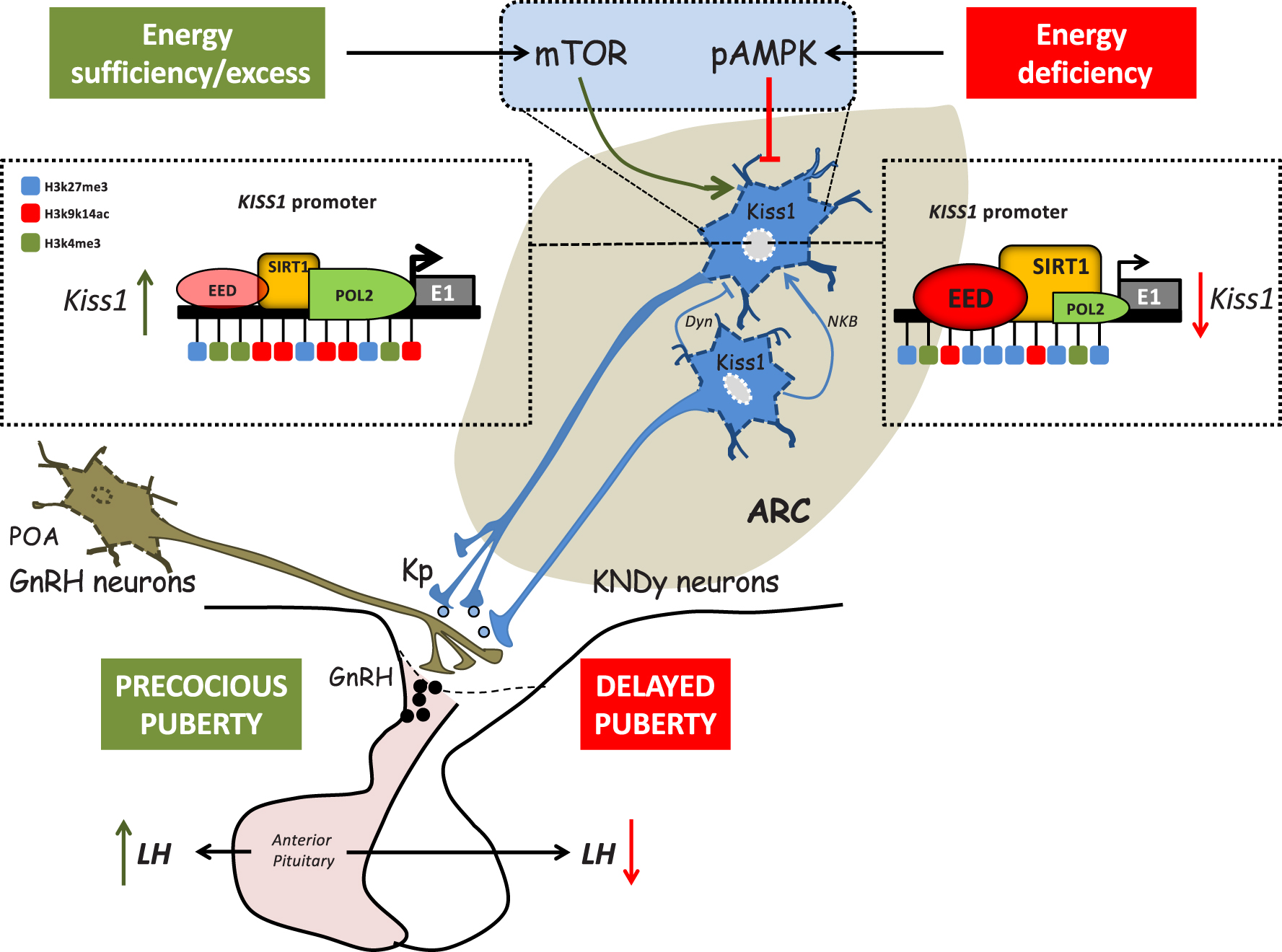 Novel mechanisms for the metabolic control of puberty